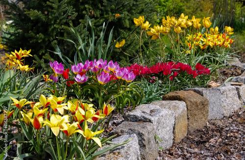 Obraz Wildtulpenbeet - flowerbed with wild tulips - fototapety do salonu