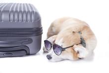 Corgi Dog On Suitcase Isolated On White Background