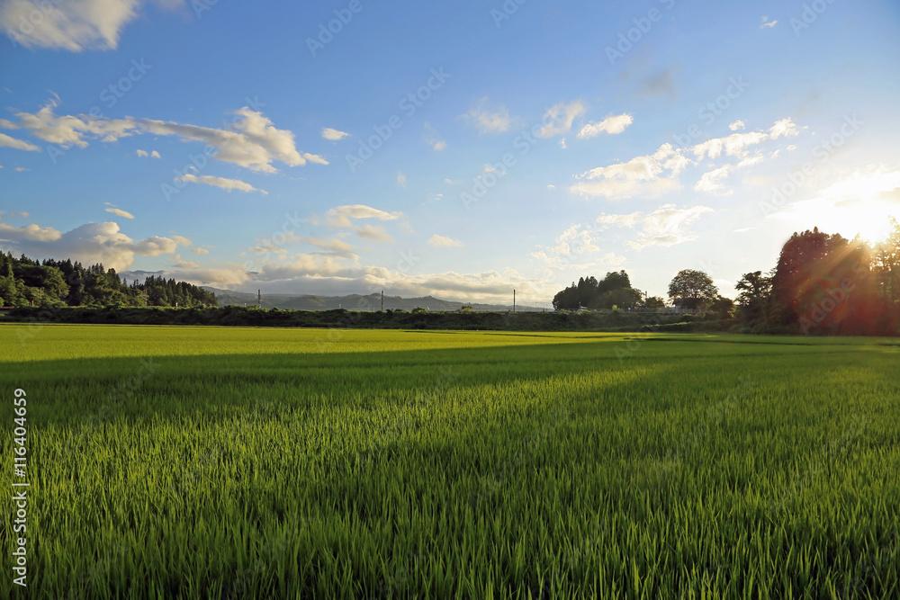 Fototapety, obrazy: 夏の水田の風景