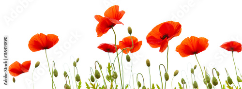 Foto op Canvas Poppy Poppy flowers isolated on white background