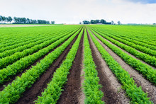 Long Rows Of Bright Green Carrot Plants In A Field
