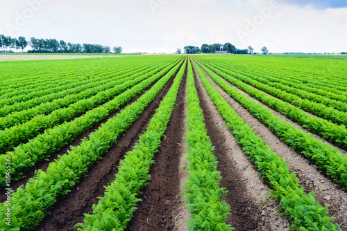 Keuken foto achterwand Platteland Long rows of bright green carrot plants in a field