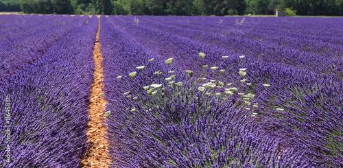 Fotobehang Lavendel Champs de lavandin