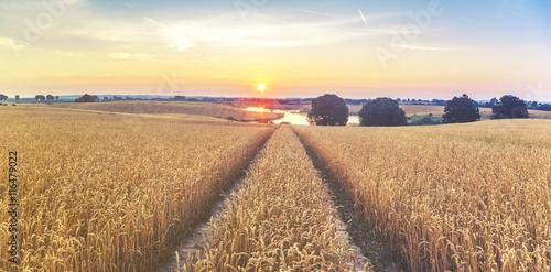 Lato na polach uprawnych,dojrzewające zboże