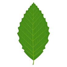 Beech Leaf Vector Illustration Isolated On White Background