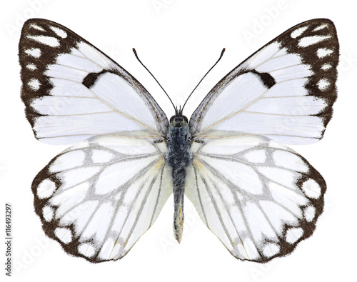 Fotobehang Vlinder Butterfly Anaphaeis aurota (male) on a white background