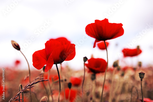 Fototapety, obrazy: Poppies on gray sky background.