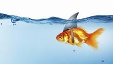 Gold Fish With Shark Flip . Mi...