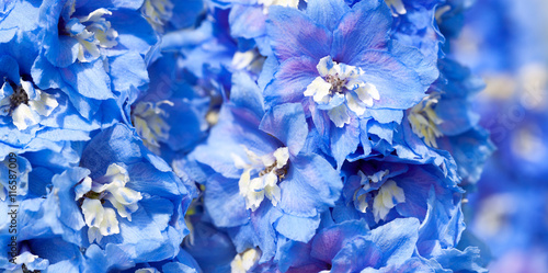 blue flowers of a delphinium close up macro Fototapet