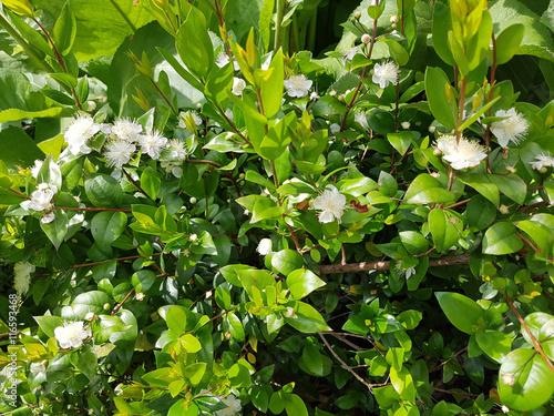 Fototapeta Myrte; Myrtus, communis; Balsam; Myrtenstrauch obraz