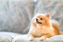 Cute Pomeranian Dog Smiling On The Sofa, Looking Upward To Copy Space