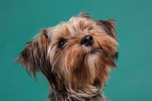 Yorkie Dog Portrait On Color B...