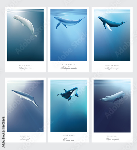 Fotografie, Tablou  Beluga, Orca, Blue whale, Sperm whale, Minke, Humpback marine mammals