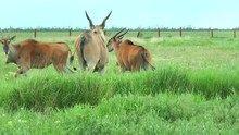 Family African Eland Grazing I...