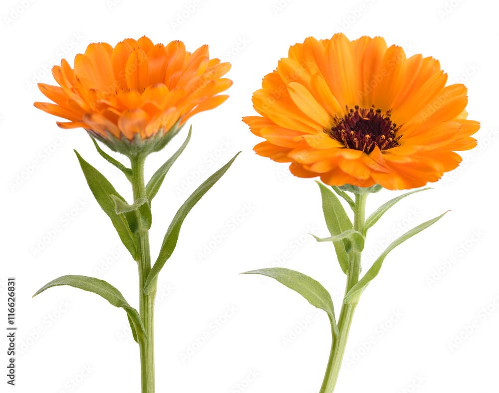 Fototapety, obrazy: Marigold (Calendula officinalis)