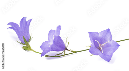 Bellflowers ( Campanula rotundifolia ) Canvas Print
