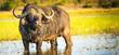 canvas print picture - Cape Buffalo