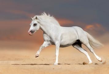 White welsh pony stallion with long mane run gallop in desert dust