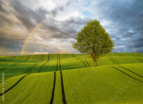 Samotne drzewo na zielonym polu,w tle piękna tęcza