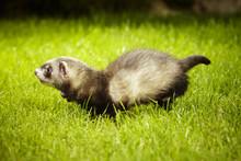 Running Little Ferret Baby In Garden