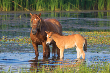 Sorrel horse and foal drink on the bog
