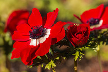 Red Poppy Anemone Flowers In Bloom