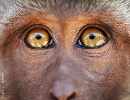 Fotografie, Obraz  Monkey yellow eyes close up - Macaca fascicularis