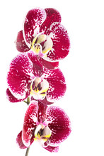 Pink Streaked Orchid Flower, I...
