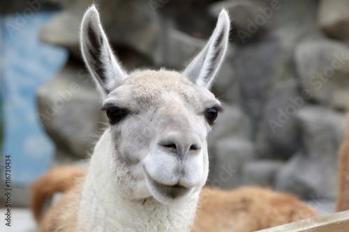 Spoed Fotobehang Lama Head of lama