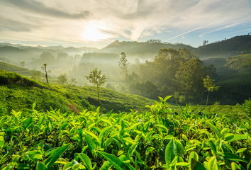 Sunrise over tea plantations in Munnar, Kerala, India
