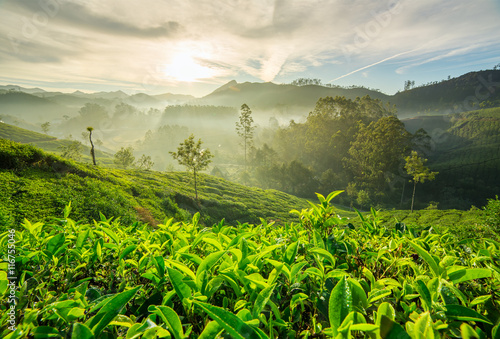 Fotografía Sunrise over tea plantations in Munnar, Kerala, India