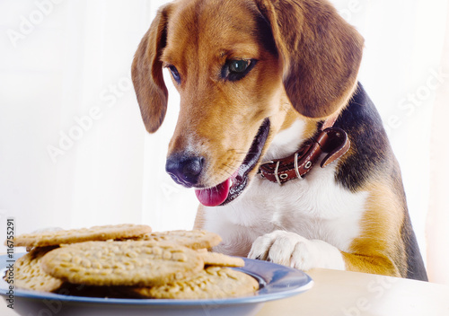 Beagle puppy and cookies on a table - 116755291
