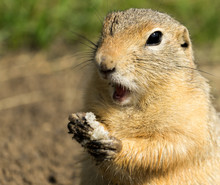 Surprised Ground-squirrel Standing And Eating