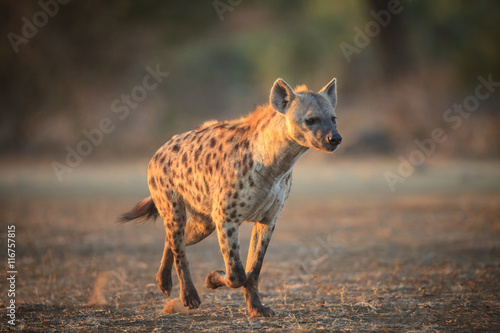 Deurstickers Hyena Hyena running in the Kruger National Park - South Africa
