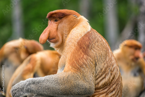 Papiers peints Singe Proboscis Monkey (Nasalis larvatus) endemic of Borneo. Male portrait with a huge nose made in Labuk Bay Proboscis Monkey Sanctuary, Sarawak.