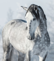 Fototapeta na wymiar Spanish thoroughbred grey horse in winter forest.