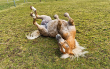 Young Chestnut Horse Rolling O...