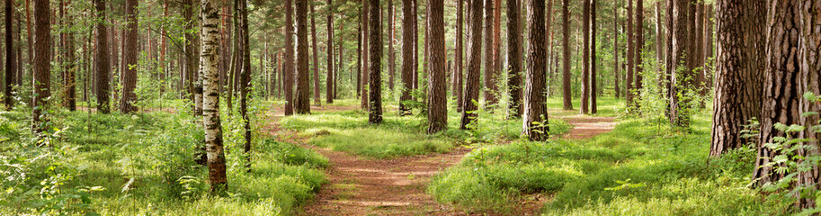 Fototapeta Panorama pine forest panorama in summer. Pathway in the park