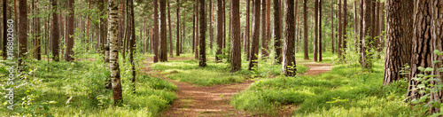 Foto op Canvas Weg in bos pine forest panorama in summer. Pathway in the park