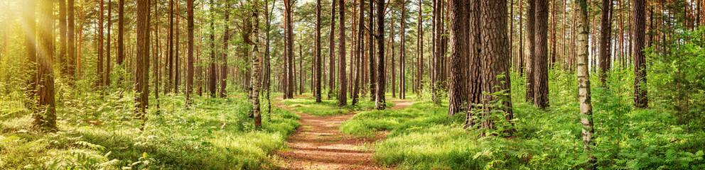 Fototapetapine forest panorama in summer. Pathway in the park