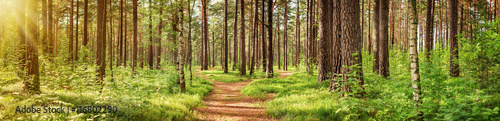 Poster Panoramafoto s pine forest panorama in summer. Pathway in the park