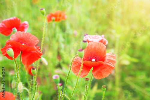 Poster Poppy Buds of red poppies on a field