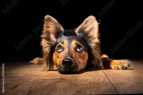 Black brown mix breed dog canine lying down on wooden floor isolated on black background looking up with perky ears while curious watching patient wanting hungry focused begging wishing hoping