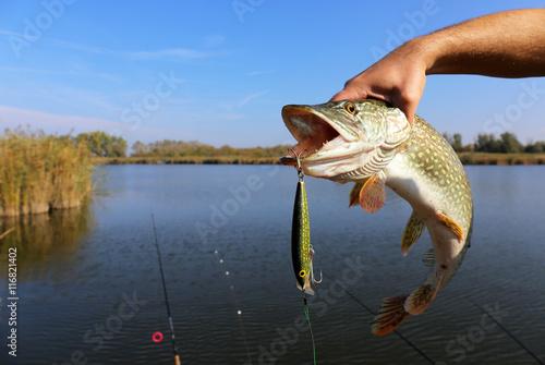 Fotografie, Obraz  fisherman hand holding pike with bait