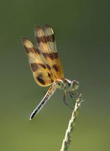 Halloween Pennant Dragonfly Pe...