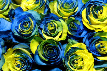 Fantastic yellow and blue roses