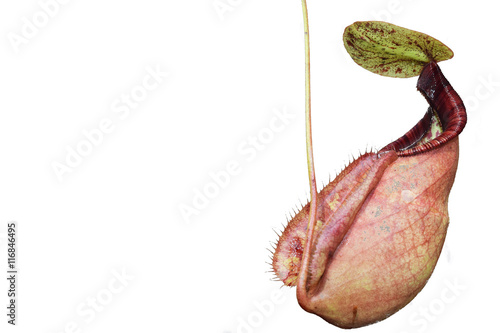 Fotografía  isolated pitcher carnivorous plant Nepenthes in Vietnam