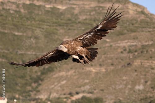 Poster Aigle Griffon vulture, Gyps fulvus