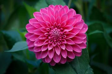 Prekrasan ružičasti cvijet dalija