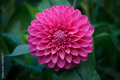 Leinwand Poster Beautiful Pink Dahlia Flower